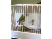 PAIR OF PINEAPPLE CONURES