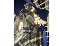 French bulldog puppies 5*