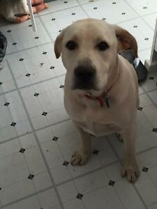Labrador x 12 months old Cooma Cooma-Monaro Area Preview