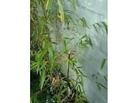 Tall bamboo plants