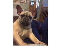 Two French bulldog sisters approx 14 months old kc registered