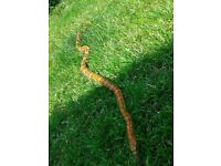 Corn Snake In Need of New Home