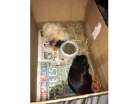 2 guinea pigs free to good home!