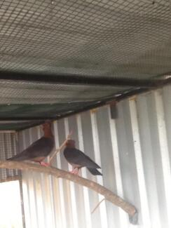 Archangel show pigeons 2 mated pairs excellent parents!! Mackay 4740 Mackay City Preview