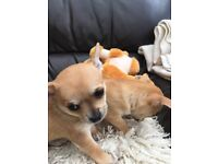 Gorgeous, Stunning chihuahua puppies for sale,