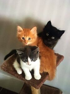 Two Kittens For Sale Ipswich Ipswich City Preview