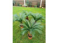 PRICE REDUCED MUST GO! Spectacular XL Sago Palm, 6 to choose from. Lovely and established