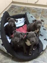 Pure Blue Staffy Pups Benloch Macedon Ranges Preview
