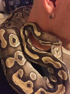 Breeding pair ball pythons Edmonton Edmonton Area image 1