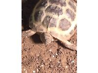 Poss Female Horsfield Tortoise Appx 4 yrs old available for Rehoming in Liverpool