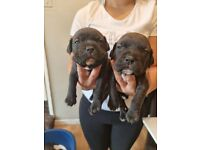 Xl bully x american bulldog puppies