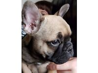 French Bulldog Bitch Puppy