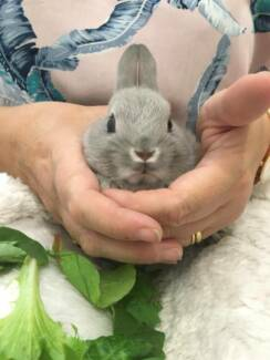 ❤️ Netherland Dwarf Australia's Littlest Pet Rabbit ❤️Purebred