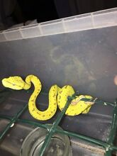 Green tree Python hatchlings Biboohra Tablelands Preview
