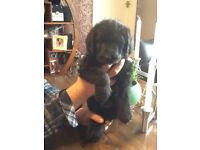 Labradoodle puppies looking for their forever homes 1 girl 1 boy .have a puppy cuddle tommorow X
