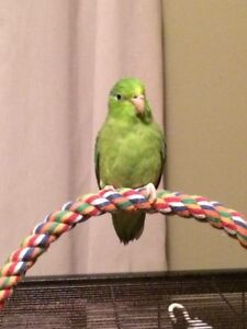 Looking for a parrotlet