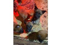 KCReg Belgian Malinois pups (last 4 dogs left)