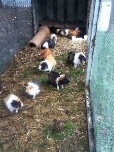 guinea pigs for sale boys $15  And girl $20 Rossmore Liverpool Area Preview