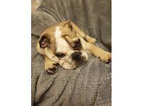 English Bulldog Puppy Male