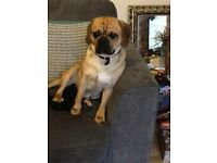 17 month old puggle for sale