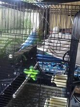 2 FREE  Budgies in need of new owner with an aviary! FREE! Currumbin Waters Gold Coast South Preview