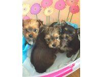 parti biewer toy pedigree yorkshire terrier puppies