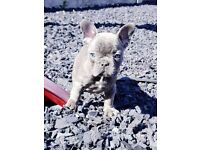 KC REG BLUE FRENCH BULLDOGS FOR SALE READY NOW