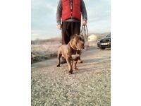 Bull terrier for sale. Bully bulldog mastiff