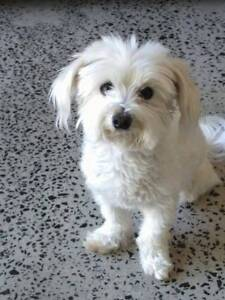 Lost today...small white maltese shi tzu on edgecliff road. Woollahra Eastern Suburbs Preview