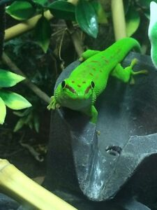 Madagascar giant day gecko plus tank and all you need