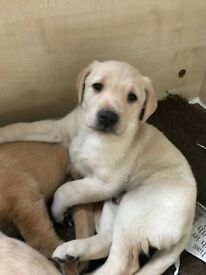 Yellow Labrador puppies KC registered