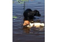 Black Labrador and white and brown terrier missing Lochgilphead