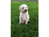 Bischon/westie puppies for sale EDIT 14/09/16 ALL SOLD !