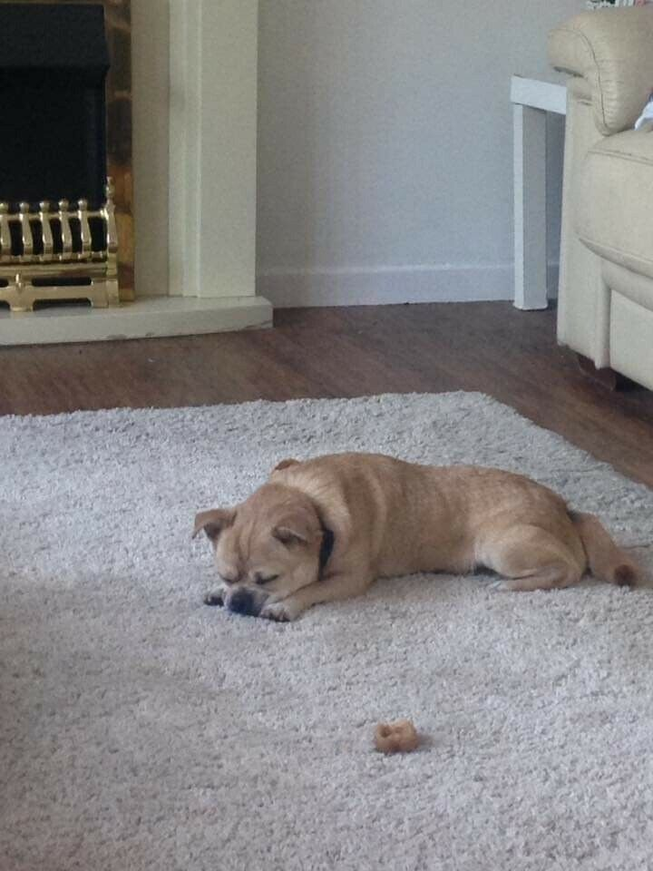 Male Chug For Sale In Kemsing Kent Gumtree