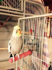 Pet cockatiel for sale