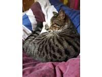 Lost tabby cat yeadon Leeds