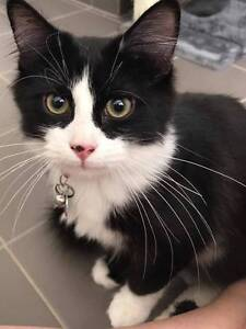 AK1411 : KitKat - CAT FOR ADOPTION - Vet Work Included Tapping Wanneroo Area Preview