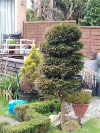 2 X topiary trees perfect for garden patio or very deep pots. 5 to 6ft tall mature