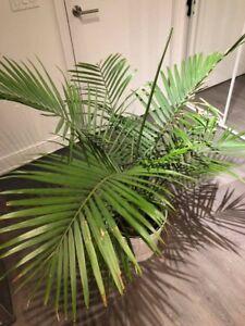 House plant - palm tree