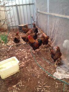 Pure breed fertile eggs for sale