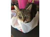 Ember - tabby cat