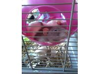 Lovable friendly Rat pair looking for a forever home