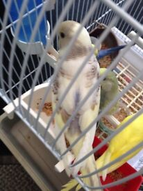 Baby Budgies for sell!