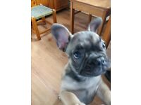 Female fawn french bulldog pup for sale