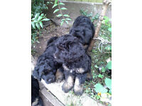 Very Rare Portuguese Sheepdog puppies (like Mini Briard)