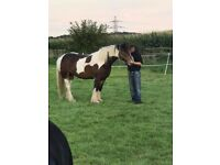 Cob Mare for sale