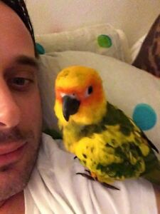 "**URGENT** LOST SUN CONURE ""skittles"" Caringbah Sutherland Area Preview"