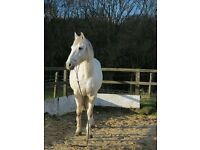Shadow 16.2 hh grey ISH for Loan