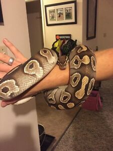 Breeding pair ball pythons Edmonton Edmonton Area image 9