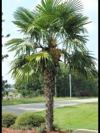 Trachycarpus fortunei 25 seeds